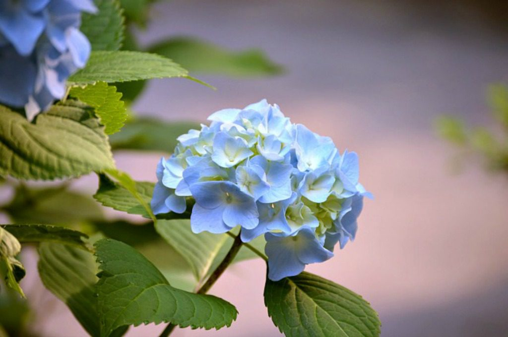 http://myfamilythyme.com/wp-content/uploads/2017/06/hydrangea1.jpg