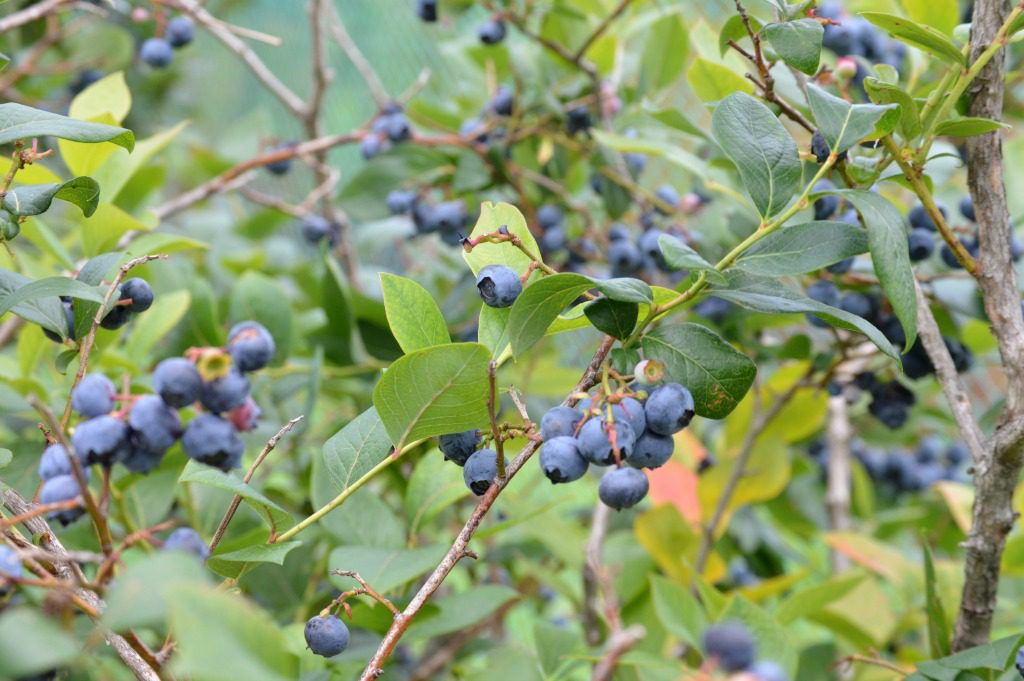 http://myfamilythyme.com/wp-content/uploads/2017/07/blueberry-picking-2.jpg
