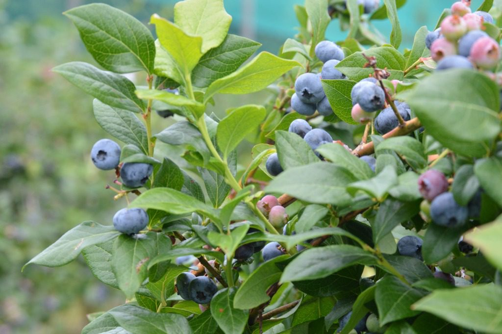 http://myfamilythyme.com/wp-content/uploads/2017/07/blueberry-picking-3.jpg